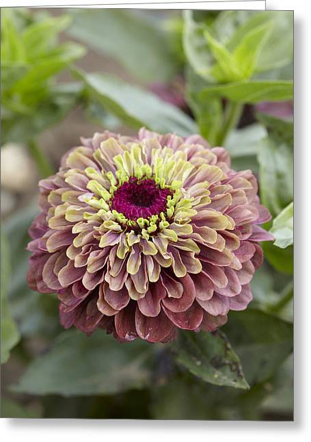 Zinnia Elegans Greeting Cards - Zinnia Elegans Queen Red Lime Variety Greeting Card by VisionsPictures