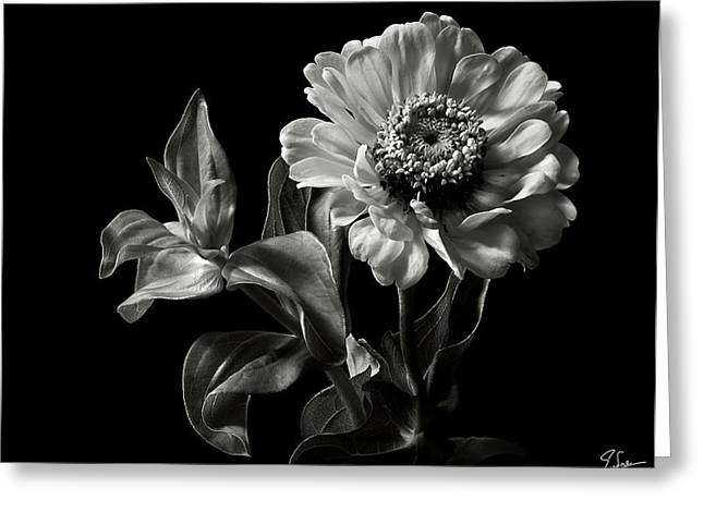 Flower Photos Greeting Cards - Zinnia in Black and White Greeting Card by Endre Balogh