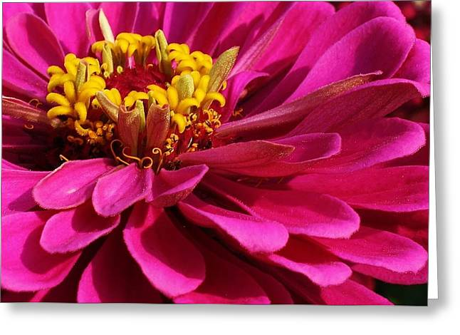 Amatuer Greeting Cards - Zinnia Macro Greeting Card by Bruce Bley