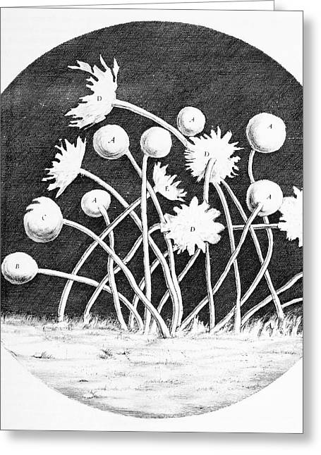 Tiny Whites Greeting Cards - Zoophytes, Historical Diagram Greeting Card by