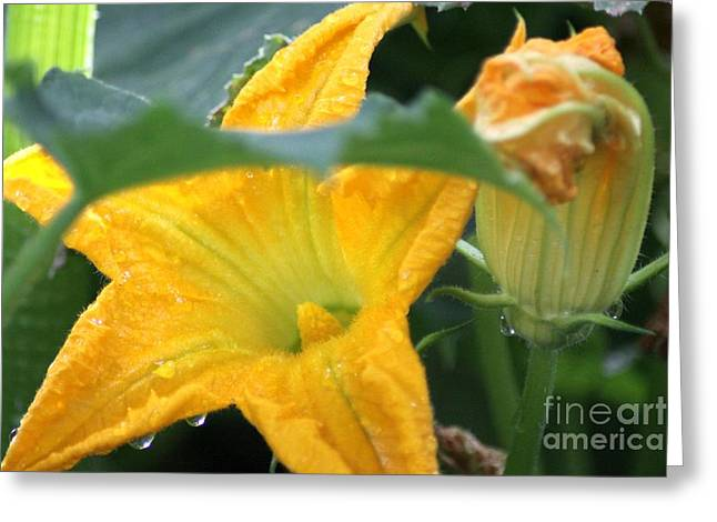 Wildlife Greeting Cards - Zucchini Flower Greeting Card by Mrsroadrunner Photography