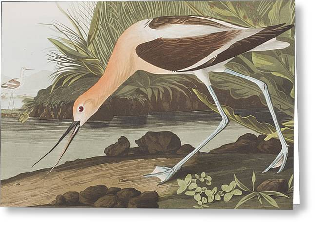 Long Legs Greeting Cards -  American Avocet  Greeting Card by John James Audubon