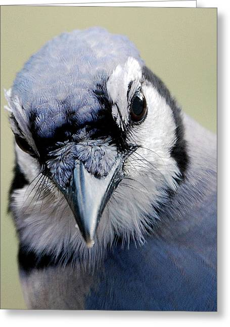Bird Identification Greeting Cards -  Blue Jay Greeting Card by Skip Willits