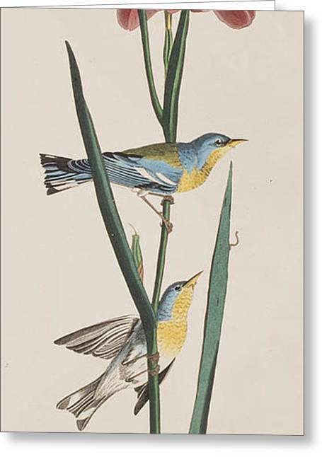 Warblers Greeting Cards -  Blue Yellow-backed Warbler Greeting Card by John James Audubon