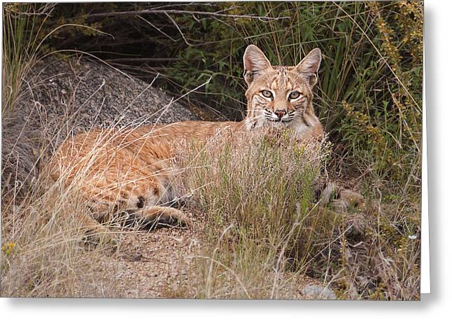 Best Sellers -  - Bobcats Photographs Greeting Cards -  Bobcat at Rest Greeting Card by Alan Toepfer