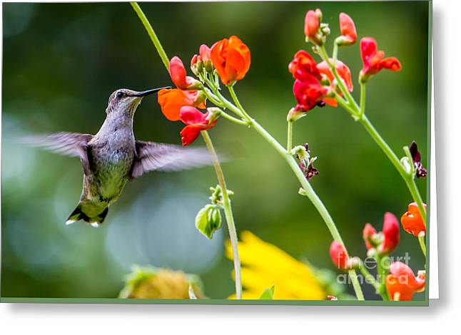 Hovering Greeting Cards -  Broad-tailed Hummingbird 4 - Utah Greeting Card by Gary Whitton