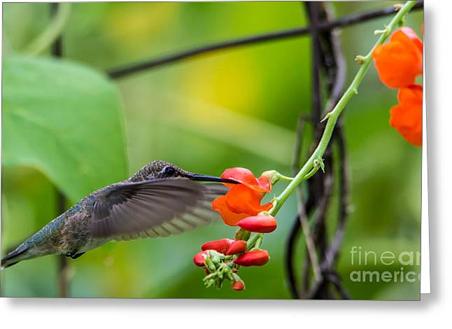 Hovering Greeting Cards -  Broad-tailed Hummingbird 6 - Utah Greeting Card by Gary Whitton