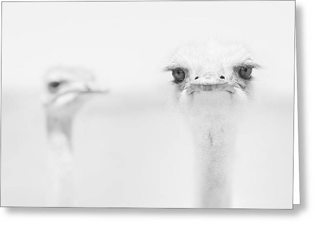 Ostrich Greeting Cards - *** Greeting Card by Carlo Tonti