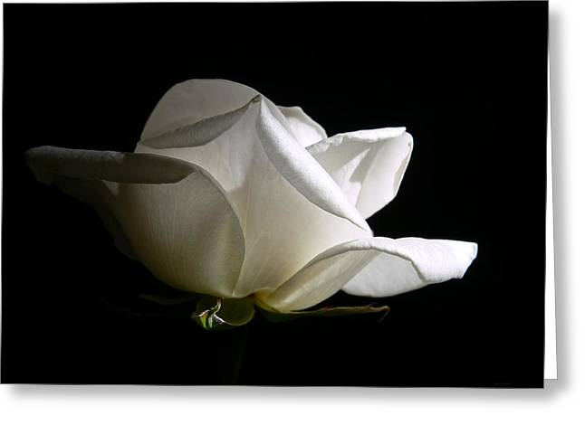 Ivory Flower Greeting Cards -  Evening Light White Rose Flower Greeting Card by Jennie Marie Schell