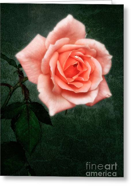 Apricots Greeting Cards -  Hybrid Tea Rose variety Congratulations Greeting Card by John Edwards