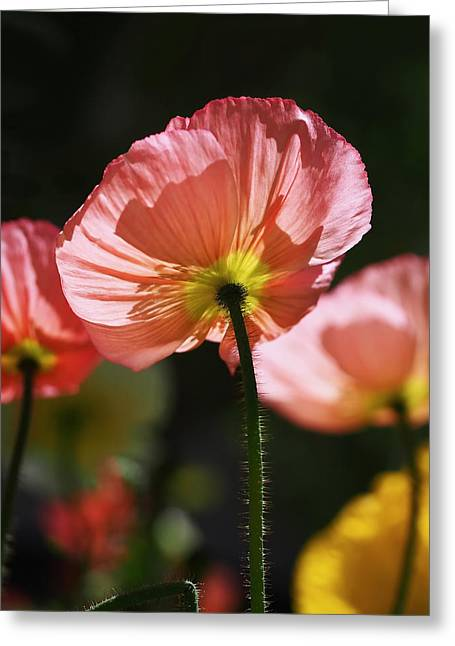 Peaches Greeting Cards -  Icelandic Poppies Greeting Card by Rona Black