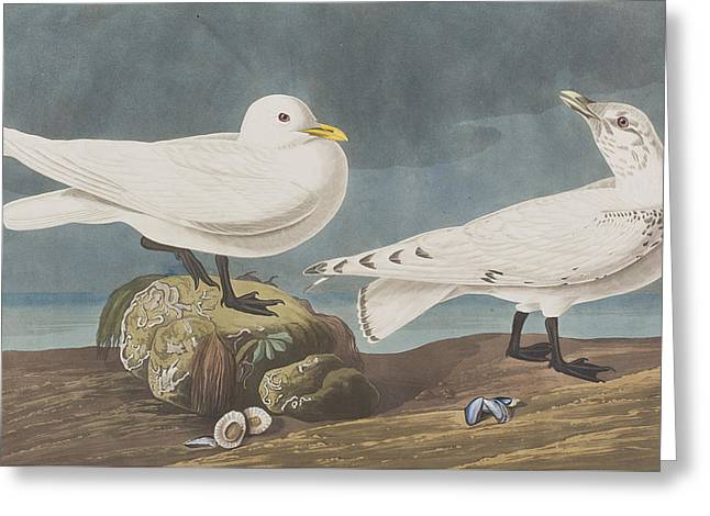 Gull Seagull Greeting Cards -  Ivory Gull Greeting Card by John James Audubon