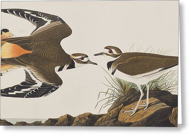Flying Bird Drawings Greeting Cards -  Kildeer Plover Greeting Card by John James Audubon