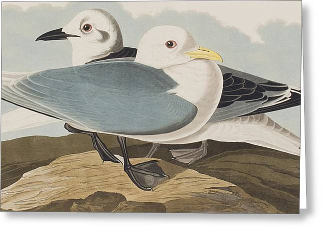 Gull Seagull Greeting Cards -  Kittiwake Gull Greeting Card by John James Audubon