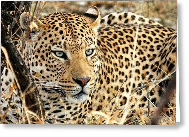 Leopard Photographs Greeting Cards -  Leopard Eyes Greeting Card by Tom Cheatham