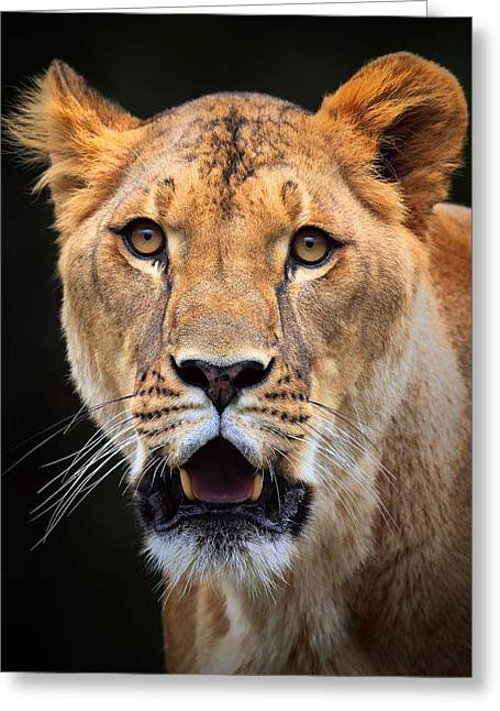 Lioness Greeting Cards -  Lioness Greeting Card by Emmanuel Panagiotakis