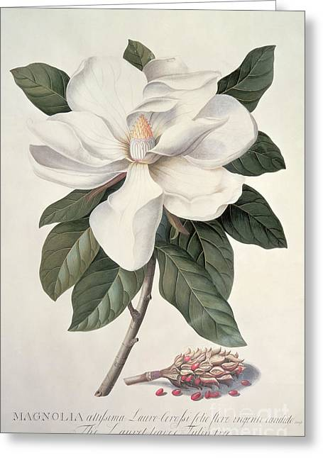 Magnolia Greeting Card by Georg Dionysius Ehret