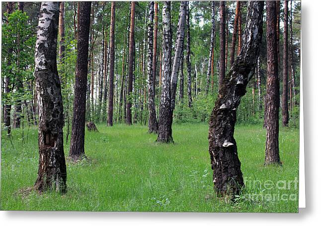 Morning In A Pine Forest Greeting Cards -  Morning in the forest Greeting Card by Sergey Lukashin
