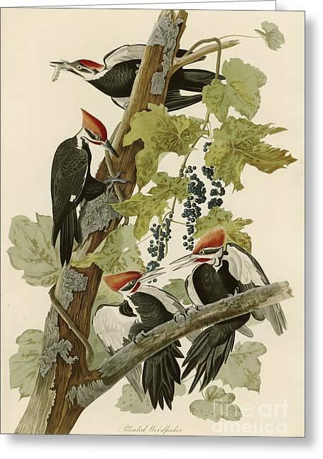 Pileated Woodpecker Greeting Card by John James Audubon