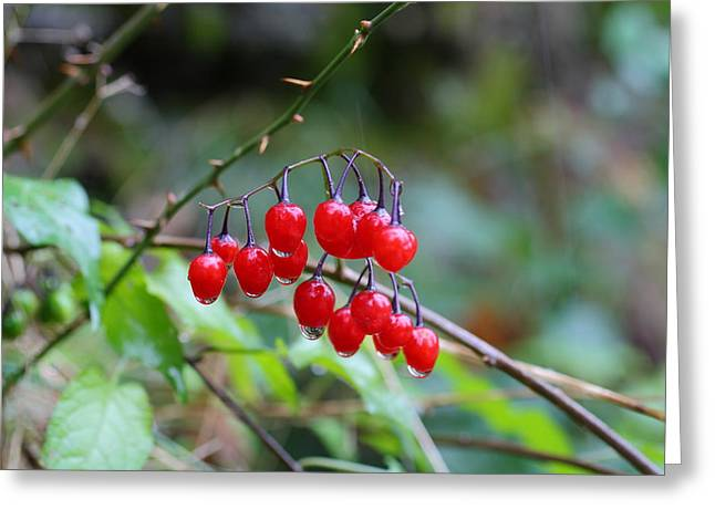 Deceptive Greeting Cards -  Poisonous red berries of woody nightshade Greeting Card by Dragan Nikolic