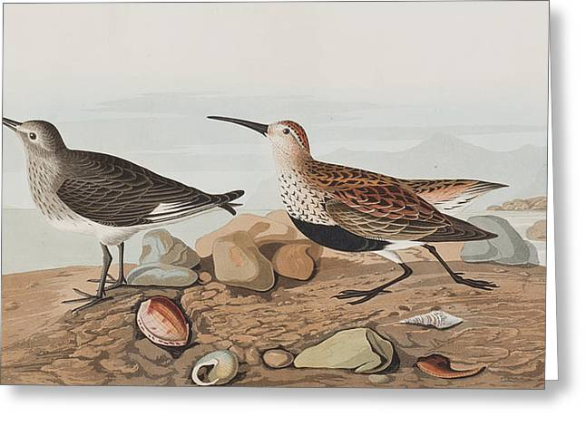 Breeds Greeting Cards -  Red backed Sandpiper Greeting Card by John James Audubon