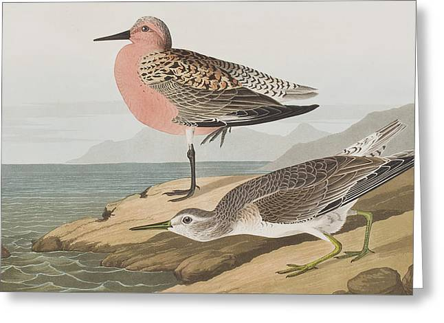Ocean Shore Drawings Greeting Cards -  Red-breasted Sandpiper  Greeting Card by John James Audubon