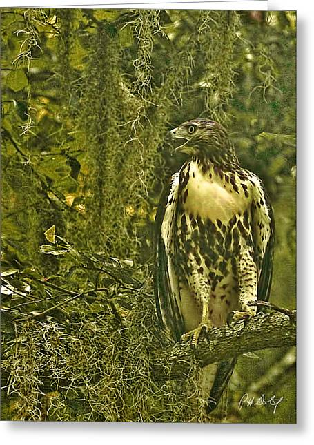 Red-tail Posing Greeting Card by Phill Doherty