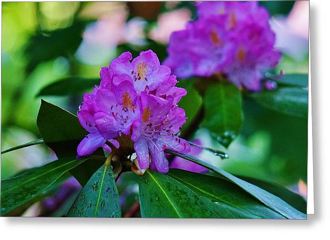 Rhodendron Greeting Cards -  Rhodendron After Rain Greeting Card by Beth Deitrick