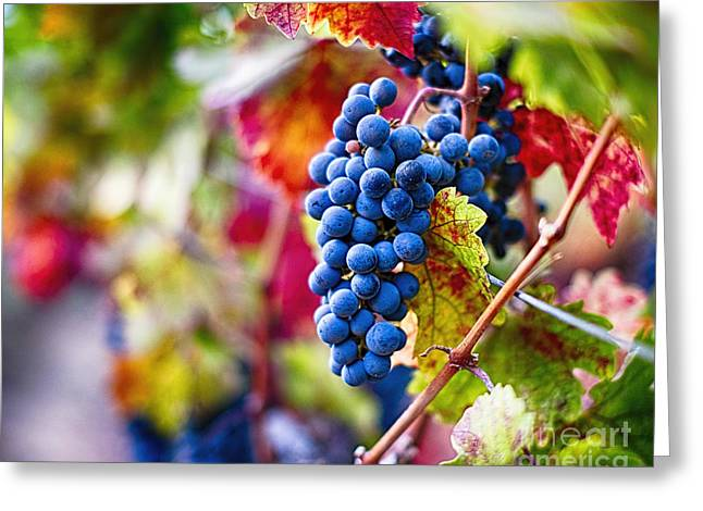 Ripe Blue Grapes On The Vine Greeting Card by George Oze