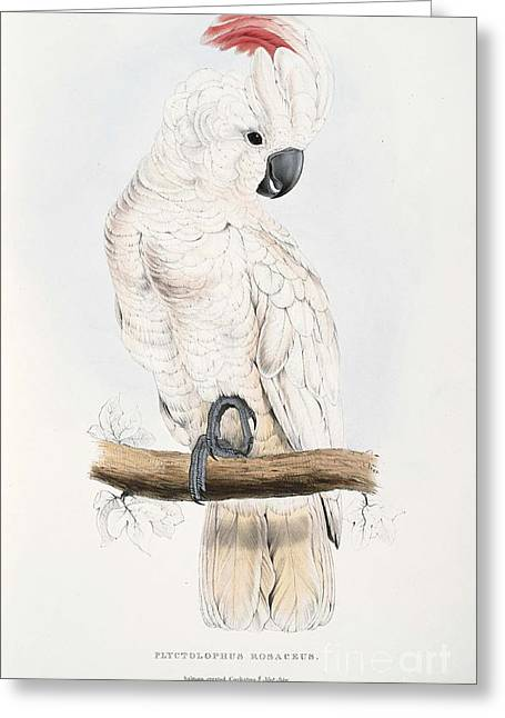 Salmon-crested Cockatoo Greeting Card by MotionAge Designs