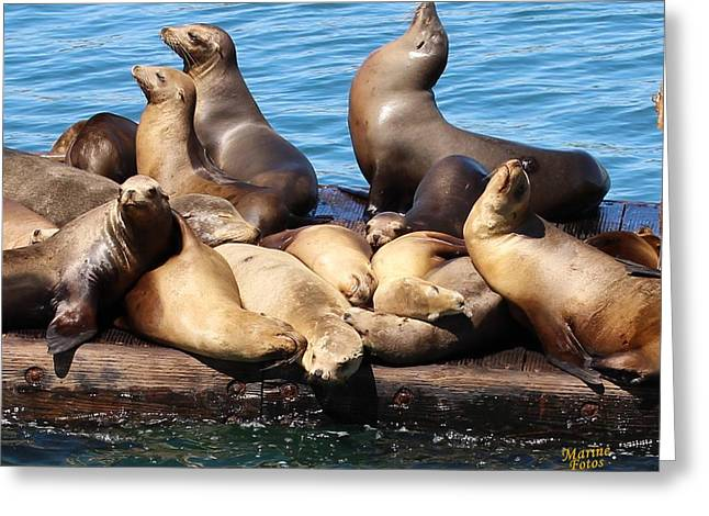 California Sea Lions Greeting Cards -  Sea Lion Harem Greeting Card by Gary Canant