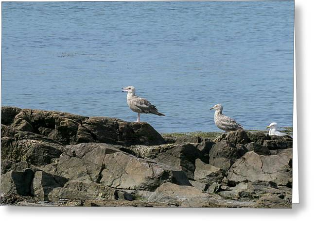 New England Ocean Greeting Cards - 3 Seaguls  Greeting Card by Ronald Raymond