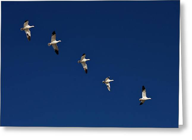 Snow Geese In Flight Greeting Cards -  Snow Geese Formation Greeting Card by Tom Cheatham