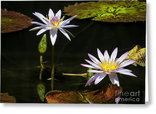 Aquatic Greeting Cards -  Star lotus Greeting Card by Zina Stromberg