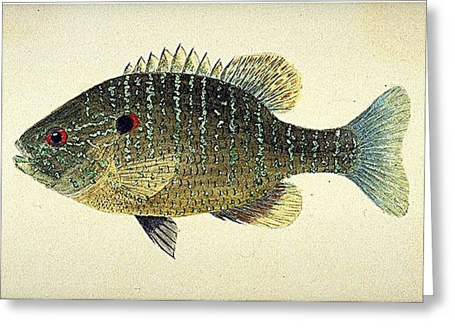 Photo Art Gallery Paintings Greeting Cards -  Sunfish Greeting Card by Louis Agassiz Fuertes