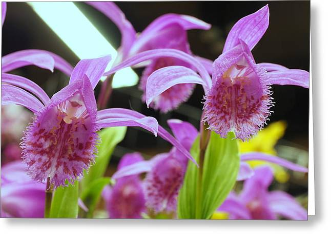 Orchid Show Greeting Cards - 03-04-15 Greeting Card by Darrell MacIver