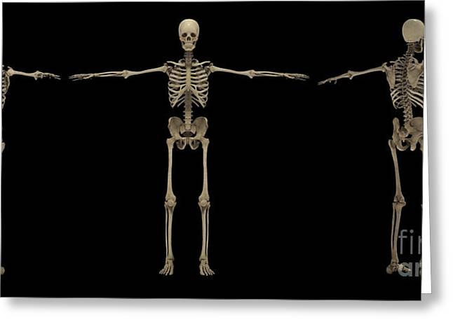 Costae Verae Greeting Cards - 3d Rendering Of Human Skeletal System Greeting Card by Stocktrek Images