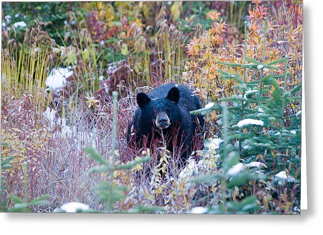 Winter Olympics Greeting Cards - A Black Bear Looks Out Of A Forest Greeting Card by Taylor S. Kennedy