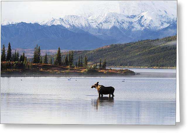 Reflections Of Sky In Water Greeting Cards - A Cow Moose Stands In Wonder Lake Greeting Card by Lynn Wegener