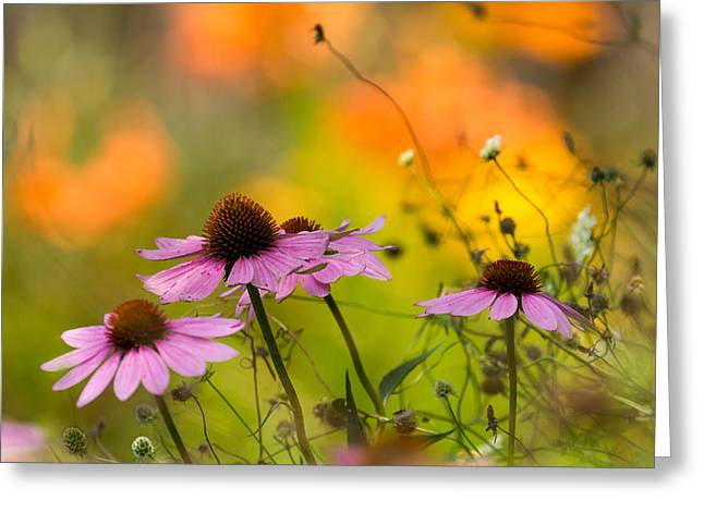 Greeting Cards - Coneflower Symphony Greeting Card by Mary Amerman