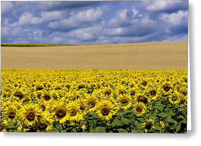 Overcast Day Greeting Cards - A field of Sunflowers . Auvergne. France Greeting Card by Bernard Jaubert