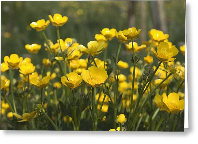 Differential Focus Greeting Cards - A Field Of Yellow Buttercups Greeting Card by John Short