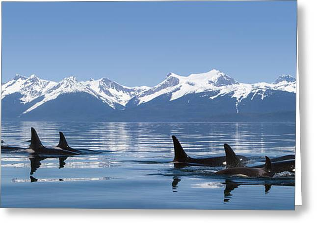 Ocean Photography Greeting Cards - A Group Of Orca  Killer  Whales Come Greeting Card by John Hyde