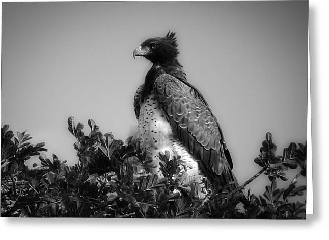 Martial Eagle Greeting Cards - A Majestic Martial Eagle Greeting Card by M Scheller