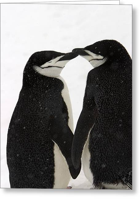 Concept Photographs Greeting Cards - A Pair Of Chinstrap Penguins Greeting Card by Ralph Lee Hopkins