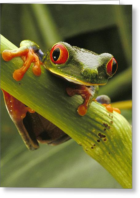 Red Eye Greeting Cards - A Red-eyed Tree Frog Agalychnis Greeting Card by Steve Winter