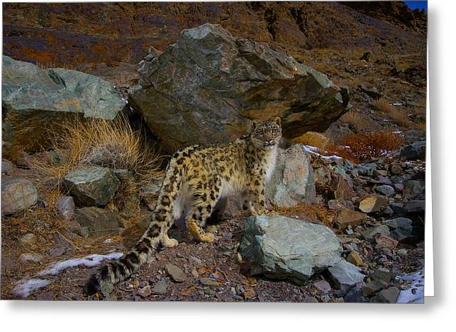 Wildcats Greeting Cards - A Remote Camera Captures An Endangered Greeting Card by Steve Winter