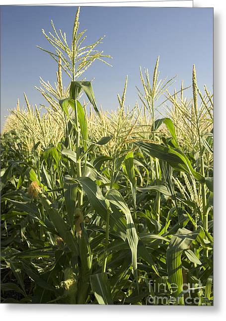 Corn On The Cob Greeting Cards - A Sweet Corn Field Greeting Card by Inga Spence