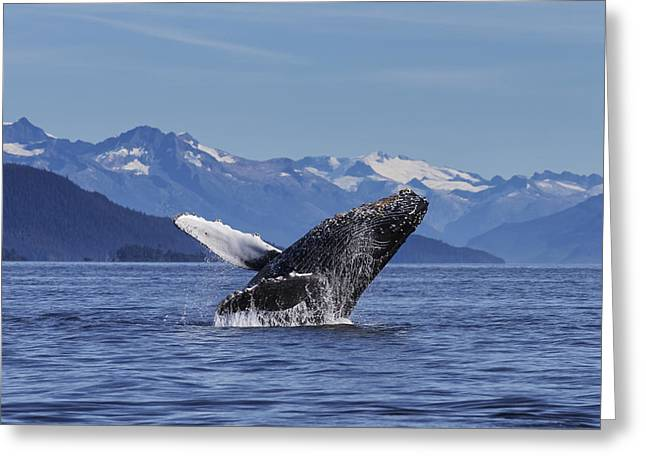 Breaching Greeting Cards - A Young Humpback Whale Leaps Greeting Card by John Hyde