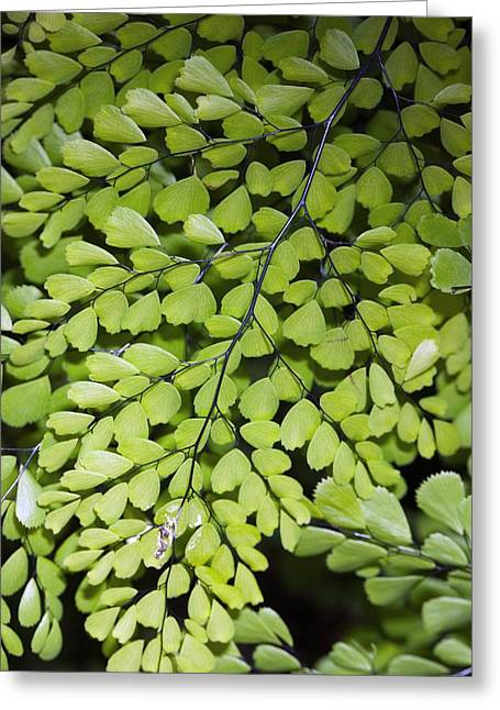 Himalayan Greeting Cards - Adiantum Venustum Greeting Card by Dr Keith Wheeler